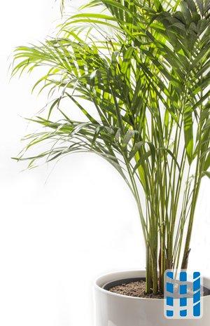 luchtzuiverende planten bamboepalm luchtreinigeradvies