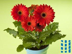 luchtzuiverende planten barberton madeliefje luchtreinigeradvies