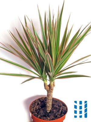 luchtzuiverende planten drakenbloedboom luchtreinigeradvies