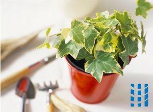 luchtzuiverende planten klimop luchtreinigeradvies