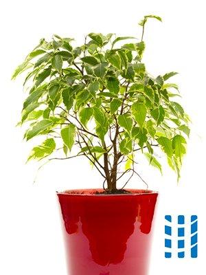 luchtzuiverende planten treurvijg luchtreinigeradvies