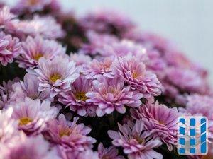 luchtzuiverende planten chrysant luchtreinigeradvies